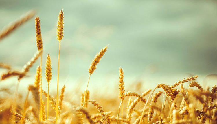 گلوتن چیست و برای چه کسانی مضر است؟