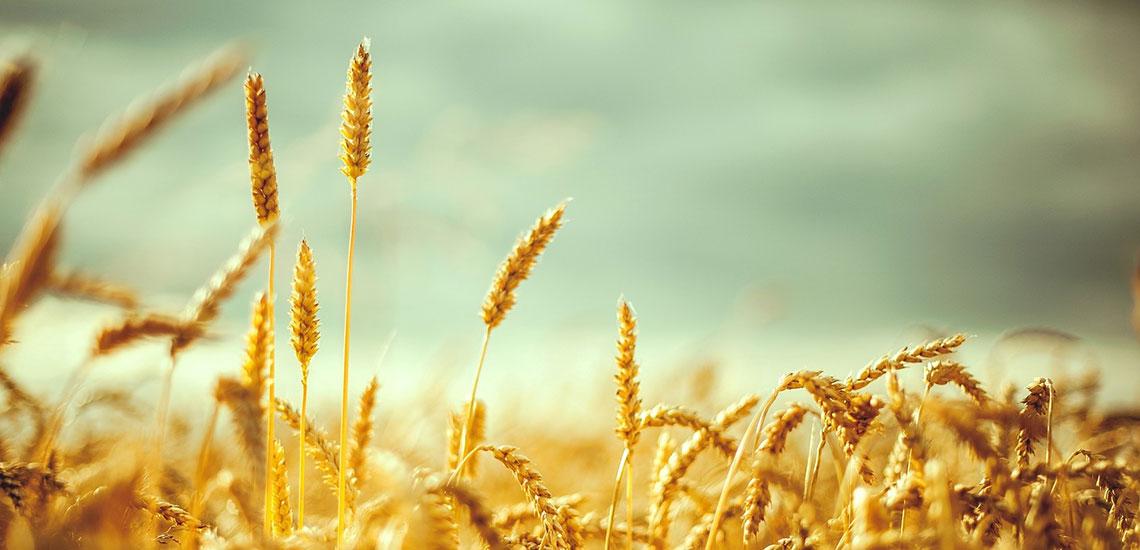 گلوتن چیست و چرا برای بعضیها مضر است؟