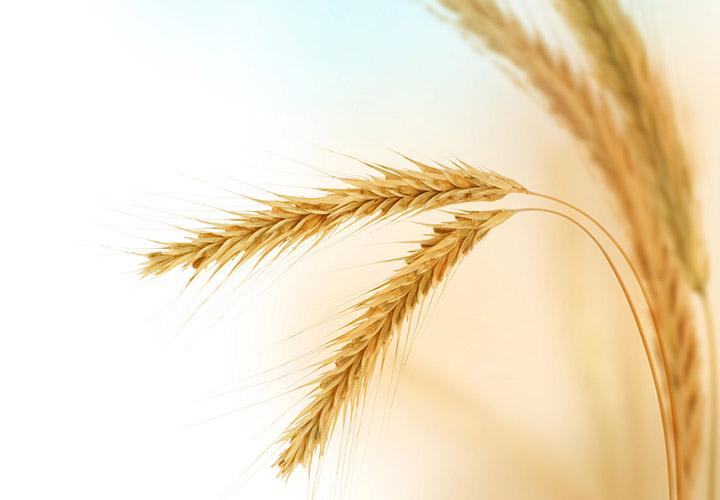 گندم -گلوتن چیست