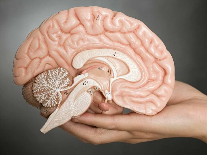 روانشناسی نوجوانان - ساختار مغز