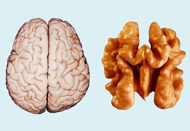 کمک به سلامت مغز از خواص گردو است.
