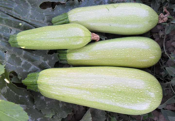 خواص کدو سبز - کدو سبز کالری کمی دارد و سرشار از مواد مغذی است.