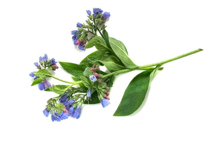 درمان کبودی با گیاه سنفیتون یا کامفری