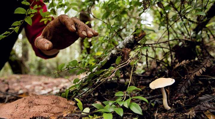 چیدن قارچهای وحشی