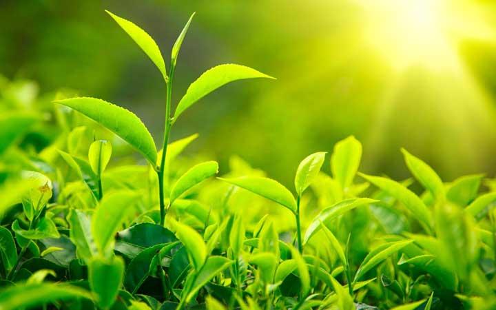 عصاره چای سبز - بهبود عملکرد کبد