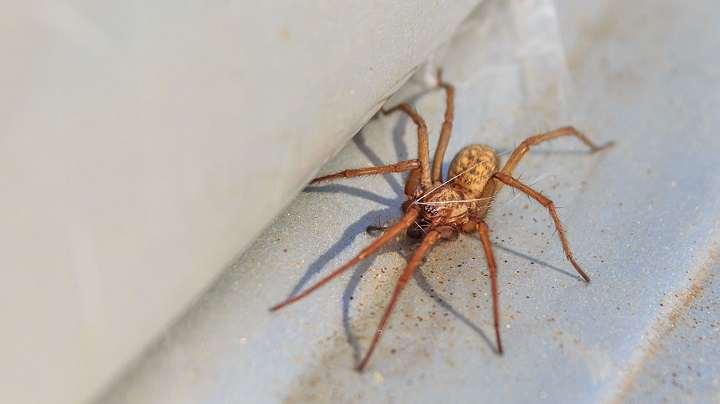 نیش عنکبوت هوبو