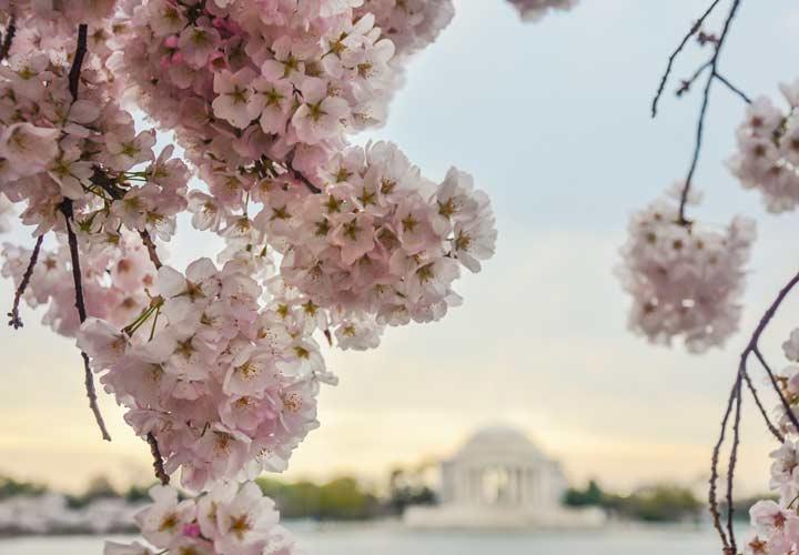 شکوفه ی گیلاس از زیباترین گلها است.