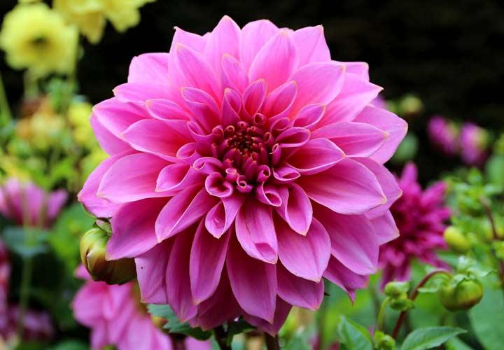 کوکب از زیباترین گلها است.