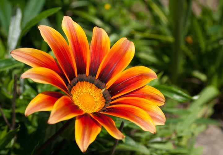 گازانیا از زیباترین گلها است.