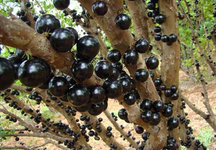 یکی از عجیب ترین میوه ها انگور برزیلی یا جابوتیکابا نام دارد.