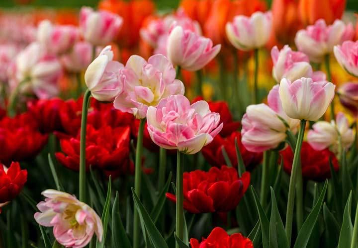لاله از زیباترین گلها است.