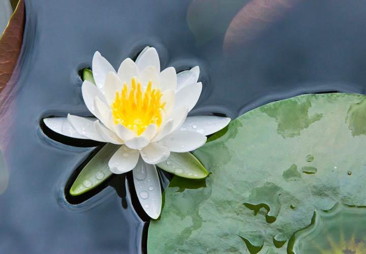 نیلوفر آبی از زیباترین گلها است.