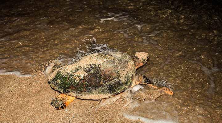 جاهای دیدنی کیش - لاکپشتهای دریایی