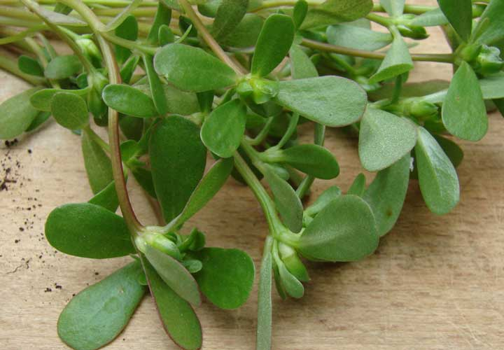 خواص خرفه - خرفه از سبزیجات برگ سبز است که می توان آن را به شکل خام یا پخته مصرف کرد.