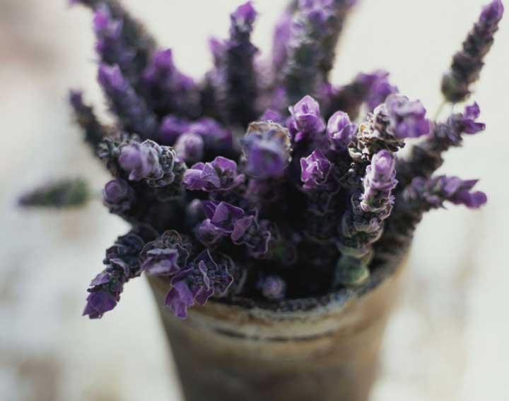 گیاهان آپارتمانی - اسطوخودوس