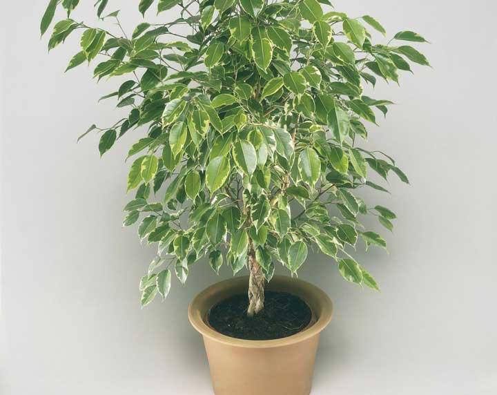 گیاهان آپارتمانی - بنجامین