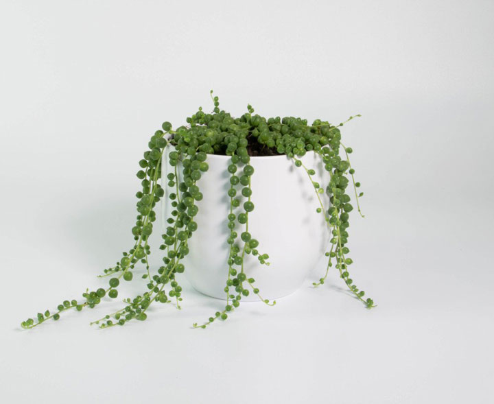 گیاهان آپارتمانی - رشته تسبیحی