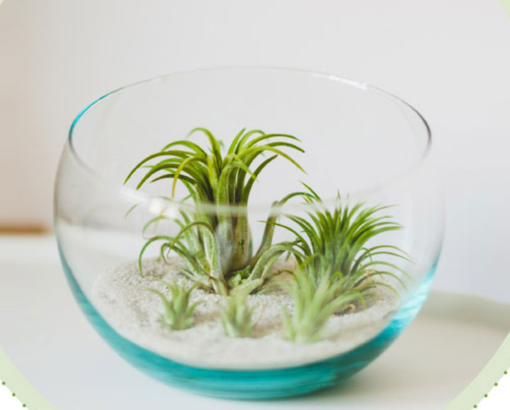 گیاهان آپارتمانی - گیاه هوایی