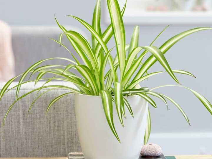 گیاهان آپارتمانی - عنکبوتی