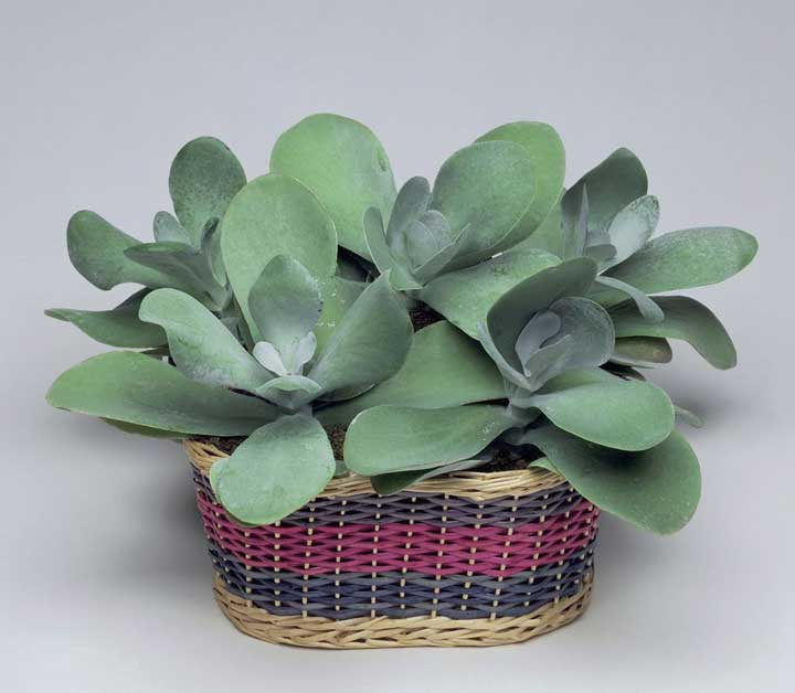 گیاهان آپارتمانی - کالانکوآ
