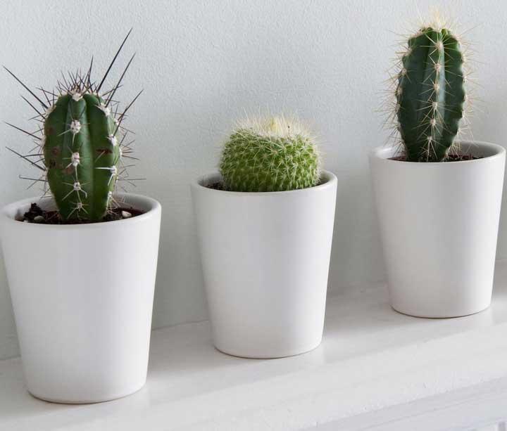 گیاهان آپارتمانی - کاکتوس