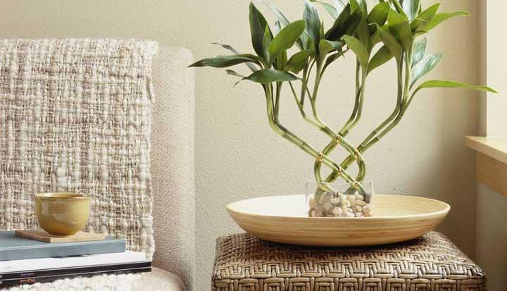 گیاهان آپارتمانی - لاکی بامبو