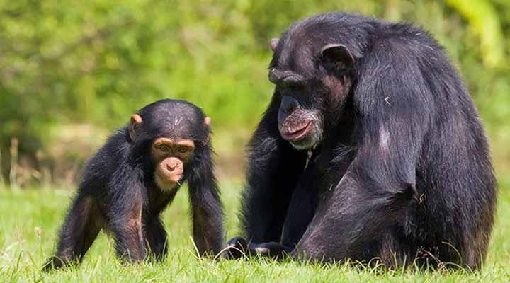 شامپانزههای تقلیدکار