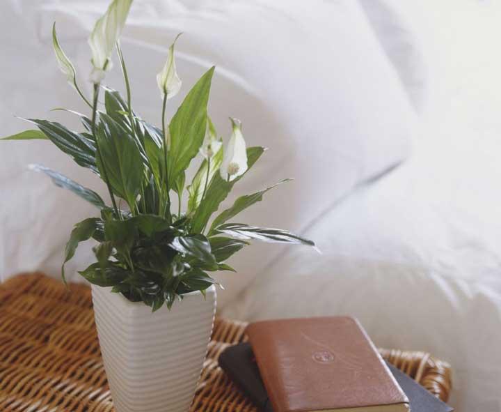 گیاهان آپارتمانی - برگ قاشقی