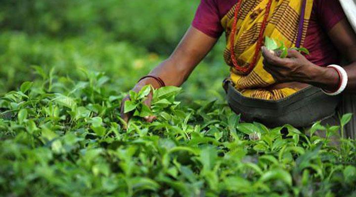 سفر به سریلانکا - مزارع چای سِیلان