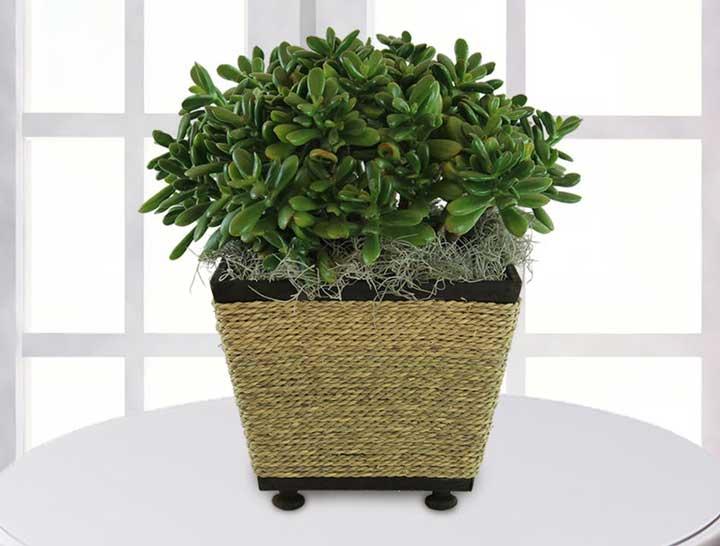 گیاهان آپارتمانی - یشم