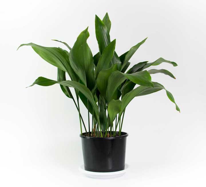 گیاهان آپارتمانی - برگ عبایی