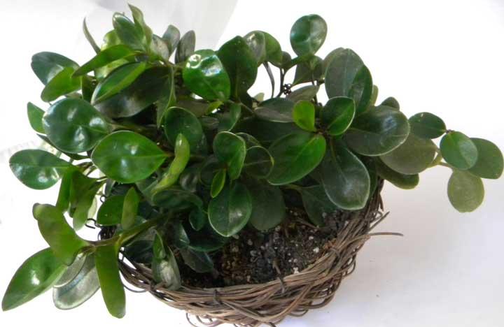 گیاهان آپارتمانی - قاشقی
