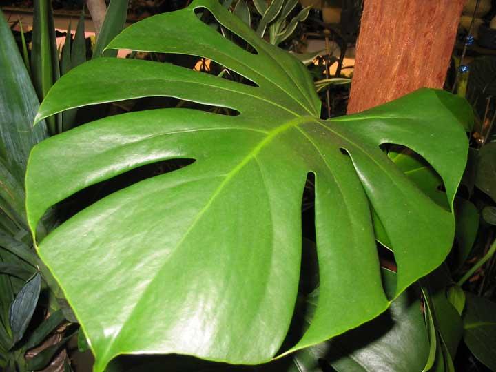 گیاهان آپارتمانی - فیلدندرون