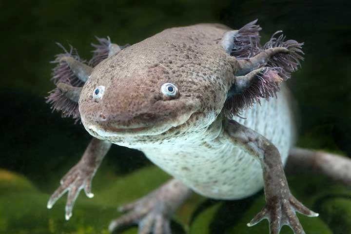 اکسولوتل، یکی از عجیب ترین حیوانات