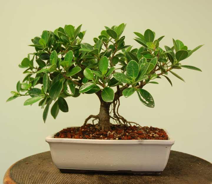 گیاهان آپارتمانی - بونسای