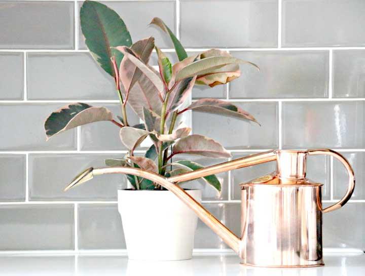 گیاهان آپارتمانی - برگ چرمی