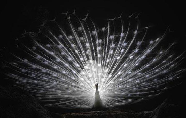 طاووس سفید-زیباترین حیوانات