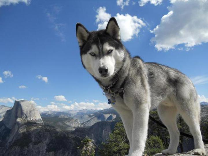 هاسکی-زیباترین حیوانات