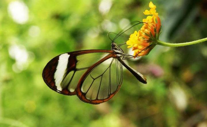 پروانه شیشه ای-زیباترین حیوانات