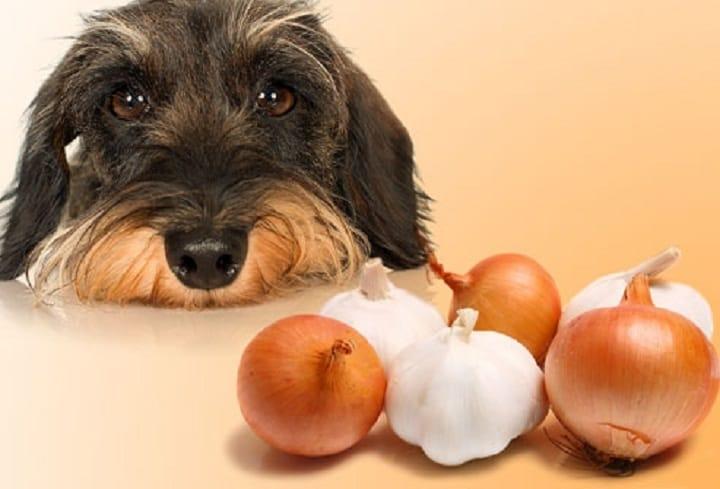 سیر و پیاز برای سگ ها خطرناک است.