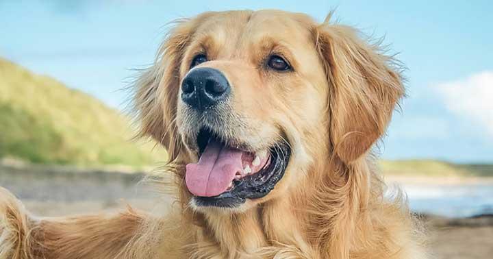 باهوش ترین نژآد سگ - گلدن رتریور