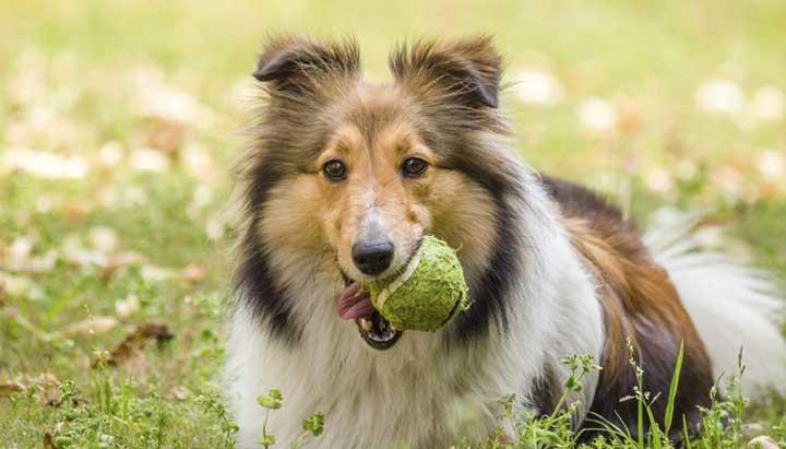 باهوش ترین نژاد سگ - شتلند