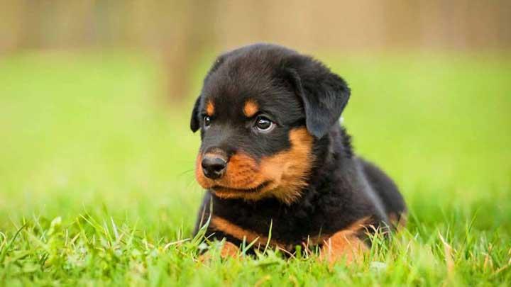 باهوش ترین نژاد سگ - روت وایلر