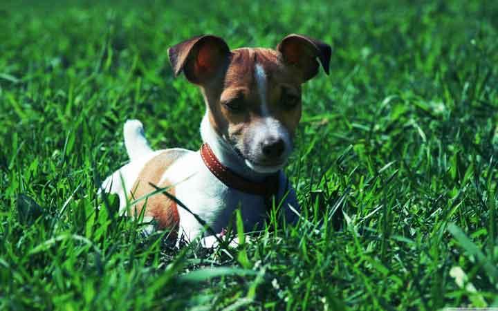 باهوش ترین نژاد سگ - شپرد