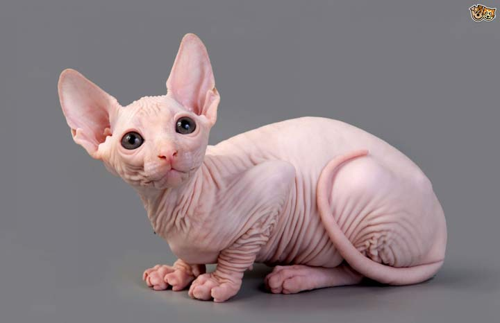 نژاد گربه، اسفینکس - محبوب ترین نژاد گربه