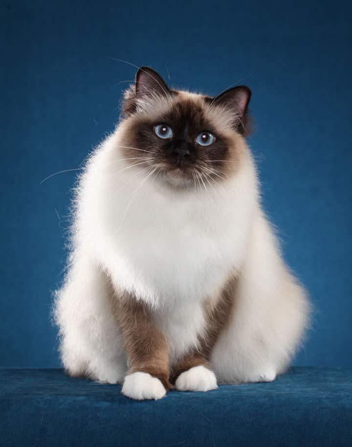 نژاد گربه، بیرمن - محبوب ترین نژاد گربه
