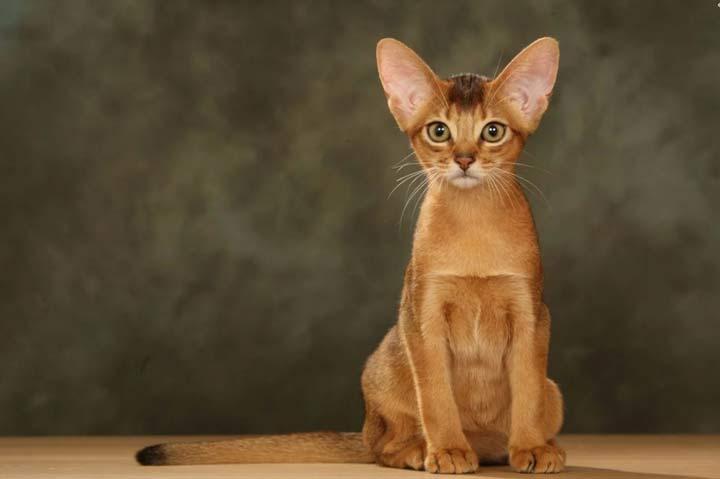 نژاد گربه، حبشی - محبوب ترین نژاد گربه