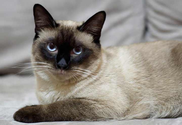 نژاد گربه، سیامی - محبوب ترین نژاد گربه