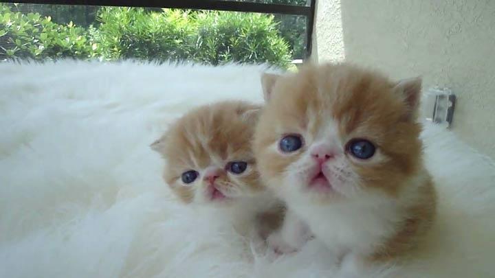 نژاد گربه، مو کوتاه عجیب و غریب - محبوب ترین نژاد گربه
