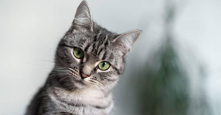 نژاد گربه، مو کوتاه - محبوب ترین نژاد گربه